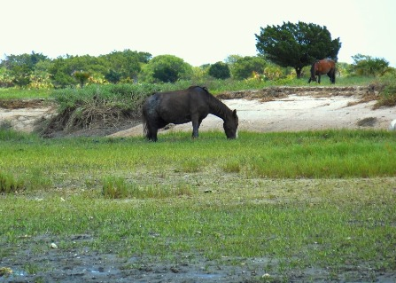 horse in marsh on Cumberland sm