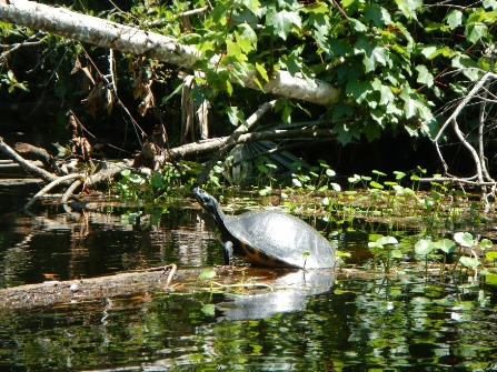 lofton creek turtle